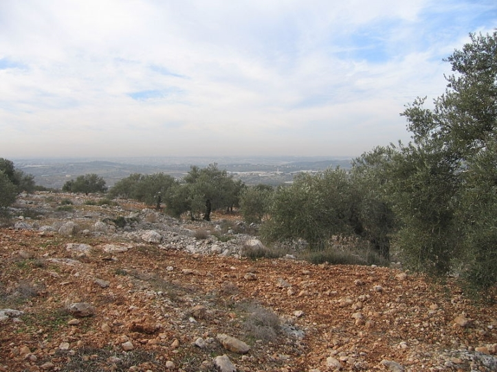Photo of olive trees in Kufr Jammal. Via Wikimedia Commons